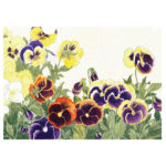 pansies-front